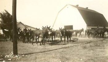 Red Top mule farm, Midlothian, Texas, owned by D. Frank Gibson, my great-grandmother's second husband.